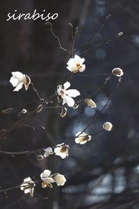 新雪のように - 小さな森の写真館 (a small forest story)
