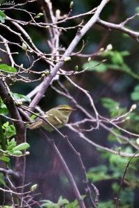 初撮り 珍鳥カラフトムシクイ - michikoの部屋