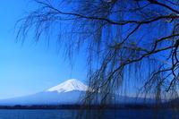 29年4月の富士(7)枝垂れ柳と富士 - 富士への散歩道 ~撮影記~
