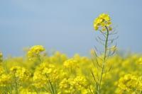 ソレイユの丘ー菜の花ー - 僕の足跡