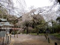「枝垂れ桜」 - 【出逢いの花々】