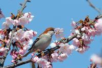 桜の花にニュウナイスズメ - 比企丘陵の自然