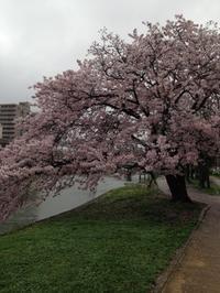 天満川沿いの桜 - kedi