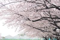 グランドの桜 - カメラをもってふらふらと