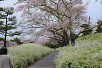 桜道のデジブックを公開しました。 - 写真撮り隊の今日の一枚2