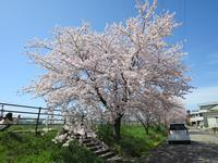 2017年の桜 - as call quietly to something vient49の日記