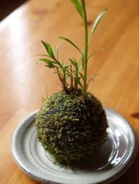 苔玉 - hibariの巣