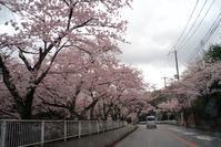 風に負けるな満開の桜 - ネコトクラス
