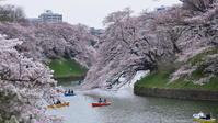 桜の季節 (千鳥ヶ淵緑道にて) - けちけちオヤジのお気楽ダイアリーズ
