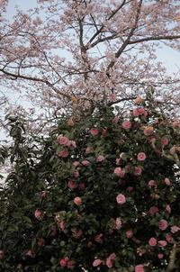 今日の庭 オトメツバキ満開 - シェーンの散歩道