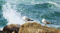 ウミネコ - 北の野鳥たち