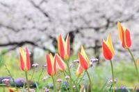 今日のさくら と チューリップ 4月10日@横浜 - 今日の小さなシアワセ