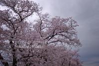 暗空と桜。 - ~風紋~徒然歳時記