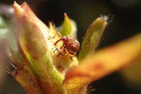 ツツジトゲムネサルゾウムシ2 - Insect walk