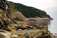 湖北の桜巡り(海津大崎・余呉湖・長浜城) - 写真の散歩道