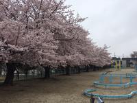 しみじみ・・・サクラ さくら 桜 - 仕事・子育て・家事のテンコ盛り生活
