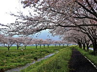 草場川の桜 - A  B  C