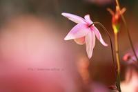 風鈴オダマキ - 季節の風を感じながら・・・