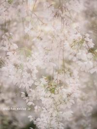 満開の近所の枝垂れ桜♪ - アリスのトリップ