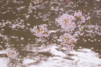 黄昏時のサクラ色 4 - 気ままにお散歩