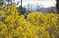 町の花はレンギョウ - じょんのび