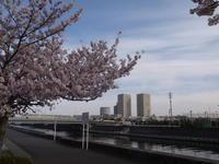 境川の風景 ソメイヨシノ - 浦安フォト日記