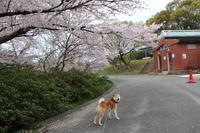桜 満開♪ - オーク、熟成中
