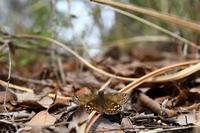ミヤマセセリ物語 - 蝶と自然の物語