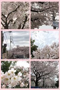 2017桜 - ゆとりの空感・aroma・