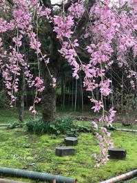 さくらさくら〜♪ - Le vase*  diary 横浜元町の花教室