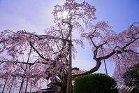 宇都宮広琳寺の枝垂れ桜 - ぶらりカメラウォッチ・・