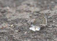 ギフチョウを探しに - 公園昆虫記