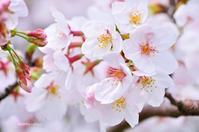 桜2017-晴れ- - ゆっくり、ぱちぱちり