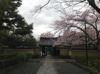 京都さくらたより〜春の嵐 名残の桜 - MOTTAINAIクラフトあまた 京都たより