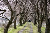 桜が咲いて・・・ - (続)風に吹かれ,風に乗って・・・.