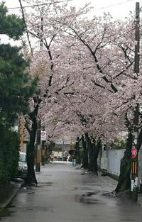 桜雨 - 晴れ、ときどき飛行機雲
