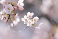 今年の桜 - クレッセント日記