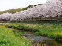 野川の桜 - tokoya3@