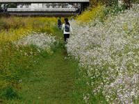 菜の花と桜の遊歩道 - tokoya3@