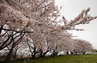 最近お気に入りの花見ポイントへ - じじ & ばば の Photo blog
