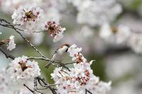 満開の桜にニュウナイスズメ - T/Hの野鳥写真-Ⅱ