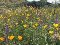 カリフォルニアの州花~ポピーを見にお花見ハイキング@Walker Canyon - MG Diary