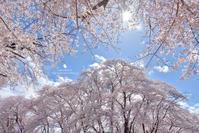 圧倒的桜。2017 - お花びより