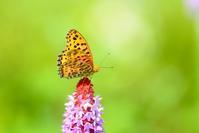 春の花とツマグロヒョウモン bYヒナ - 仲良し夫婦DE生き物ブログ