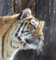 3月11日の旭山動物園と動物園の役割 - 黄金絹毛鼠(コガネキヌゲネズミ)