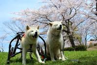今年もお花見 - 秋田犬「大和と飛鳥丸」の日々Ⅱ