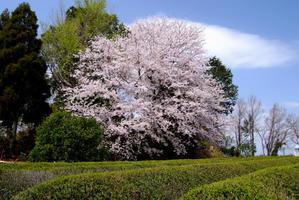 桜の思い出3 - 秋桜航空