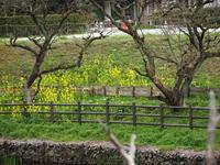 柿の木と菜の花 - エンジェルの画日記・音楽の散歩道