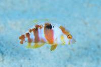 テンスモドキ - 沖縄 ダイビング 水中写真 フォトギャラリー