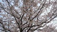 満開の桜の 昨日 ・・・ - Fouko